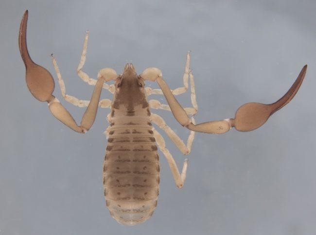 Garypus ranalliorum